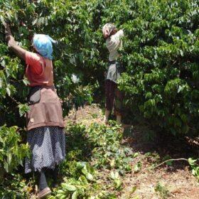 Kaffeebaueme und zwei kaffeebauerinnen beim pflücken der Kaffeekirschen in Kenia werden durch das deutsche Lieferkettengesetz bedroht